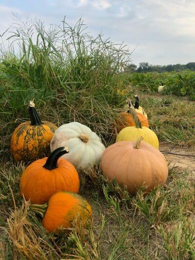 Cullipher Farm Pumpkin Patch
